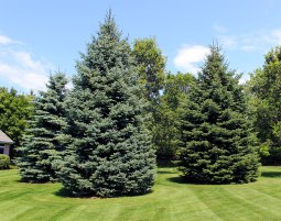 nursery-evergreen-trees-lg
